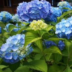 Hydrangea macrophylla Nikko Blue / Hortensia
