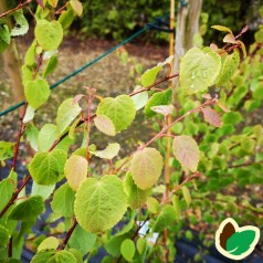 Cercidiphyllum japonicum Glowball - Kugleformet Hjertetræ