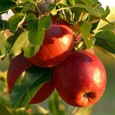 Dværg Æbletræ Pidi - Malus domestica Pidi