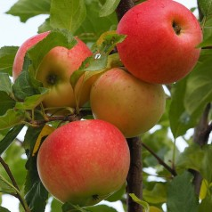 Dværg Æbletræ Pumila - Malus domestica Pumila