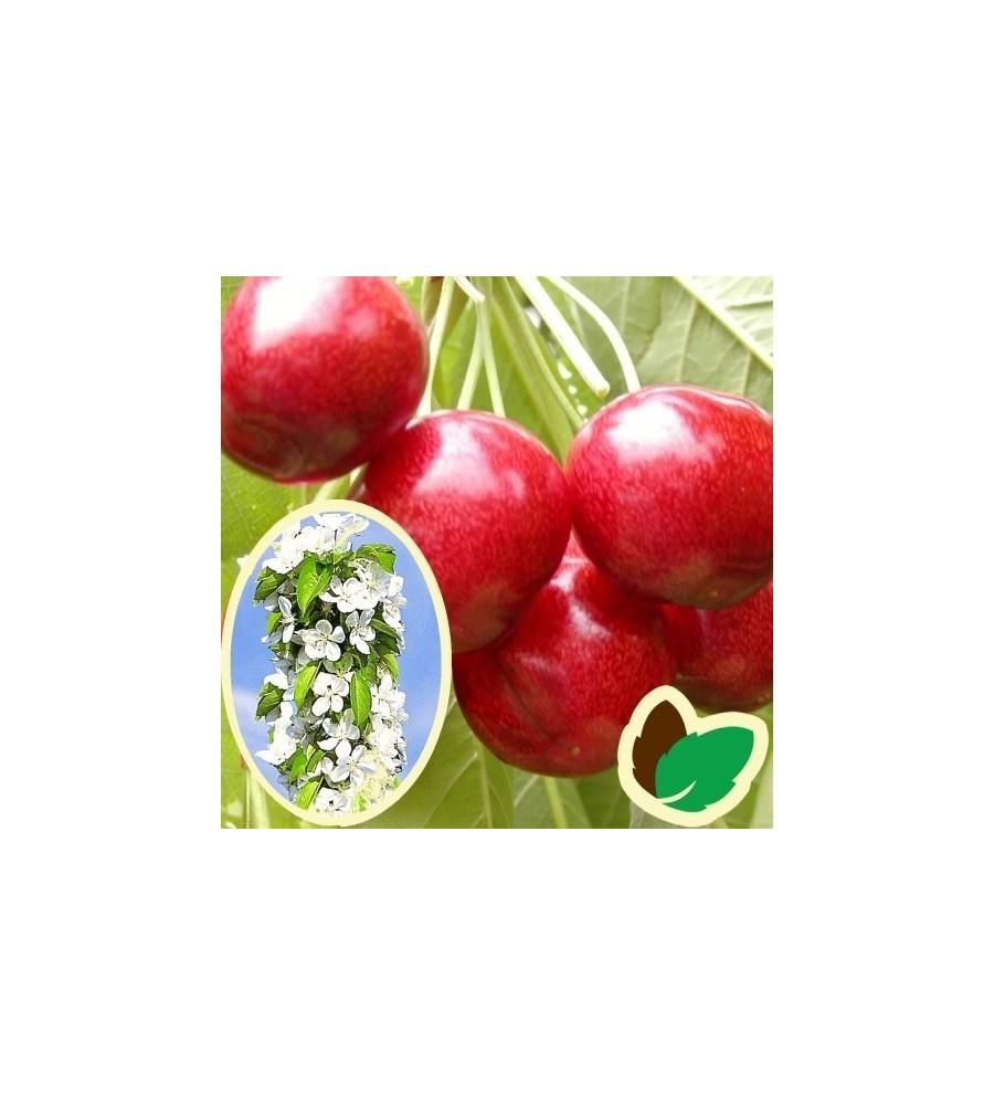 Søjlekirsebær Helena