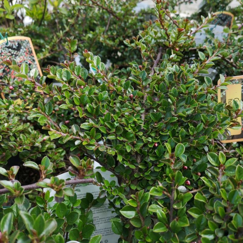 Cotoneaster horizontalis / Dværgmispel