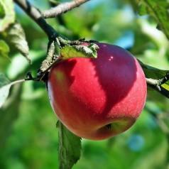 Æbletræ Rød Topaz - Malus domestica Rød Topaz