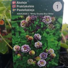 Aquilegia vulgaris Winky Double Blue White / Akeleje