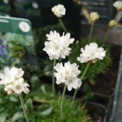 Armeria maritima Alba Minor / Engelsk græs