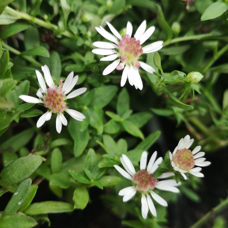 Aster lateriflorus Horizontalis / Asters / Sommerens Farvel