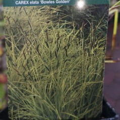 Carex elata Bowles Golden / Gul Japansk Star
