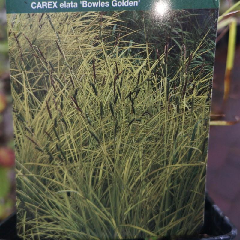 Carex elata Bowles Golden / Gul Japansk Star