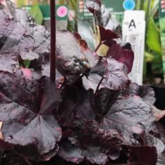 Heuchera hybrid Midnight Rose / Alunrod