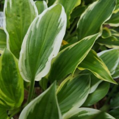 Hosta hybrid So Sweet / Funkia