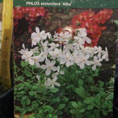 Phlox stolonifera Alba / Krybende Floks