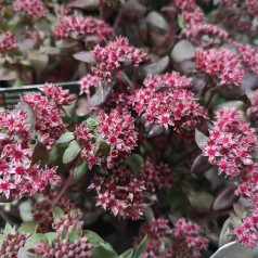 Sedum hybrid Purple Emperor / Sankthansurt