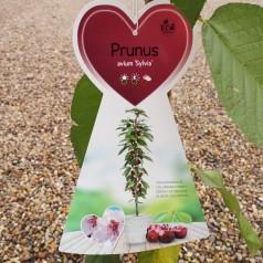 Søjlekirsebær Sylvia - Prunus avium Sylvia