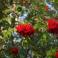 Almindelig Røn - Sorbus aucuparia