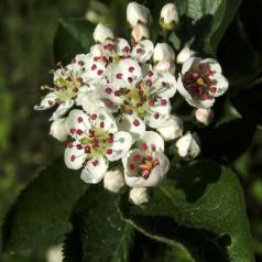 Aronia prunifolia / Blommebladet surbær