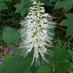 Aesculus parviflora / Busk Hestekastanje