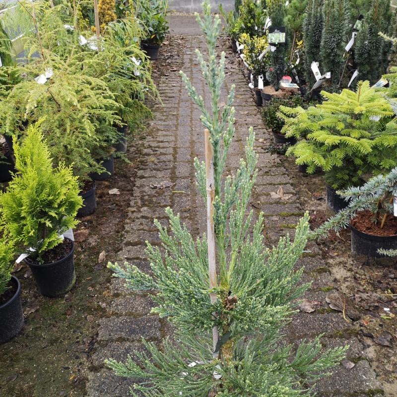 Sequoiadendron giganteum Glaucum - Mammuttræ / 50-60 cm.