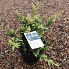 Sequoia sempervirens Adpressa - Mammuttræ