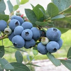 Blåbær Brigitta Blue - Storfrugtet - Vaccinium corymbosum Brigitta Blue