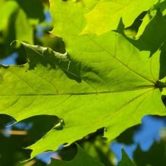 Sukkerløn, Acer saccharum