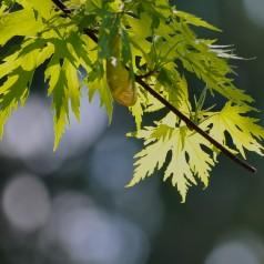 Acer saccharinum - Sølvløn / 125-150 cm