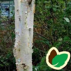 Betula utilis Jacquemontii - Himalayabirk / Træ 200-250 cm.