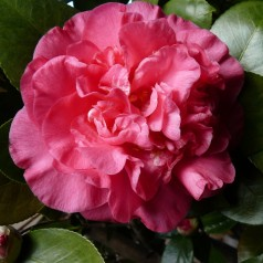 Camellia japonica Scentsation - Kamelia / 40-60 cm.