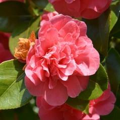 Camellia japonica Cereixa de Tollo - Kamelia / 40-60 cm.