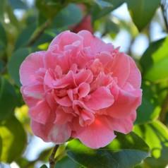 Camellia japonica Rosa - Kamelia / 40-60 cm.