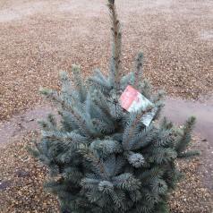 Picea Pungens Super Blue Seedling - Blågran / 80-100 cm.