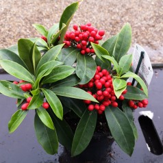 Skimmia japonica Reevesiana - Vinterbær