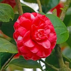 Camellia japonica Orandako - Kamelia / 20-40 cm.