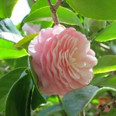 Camellia japonica Uso Otome - Kamelia / 20-40 cm.