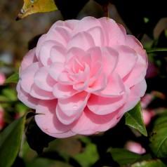 Camellia japonica Virginia Franco - Kamelia / 20-40 cm.
