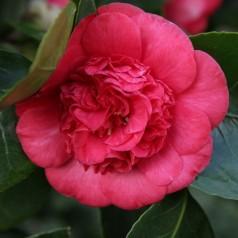 Camellia japonica Ruby Wedding - Kamelia / 20-40 cm.