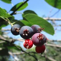 Amelanchier alnifolia Martin - Ellebladet bærmispel / Saskatoon Berry