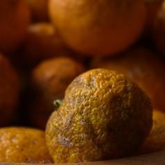 Citrustræ - Citrus x Yuzu
