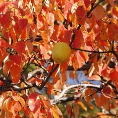 Pseudocydonia sinensis - Kinesisk Kvædetræ