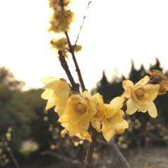Chimonanthus praecox / Vinterblomst