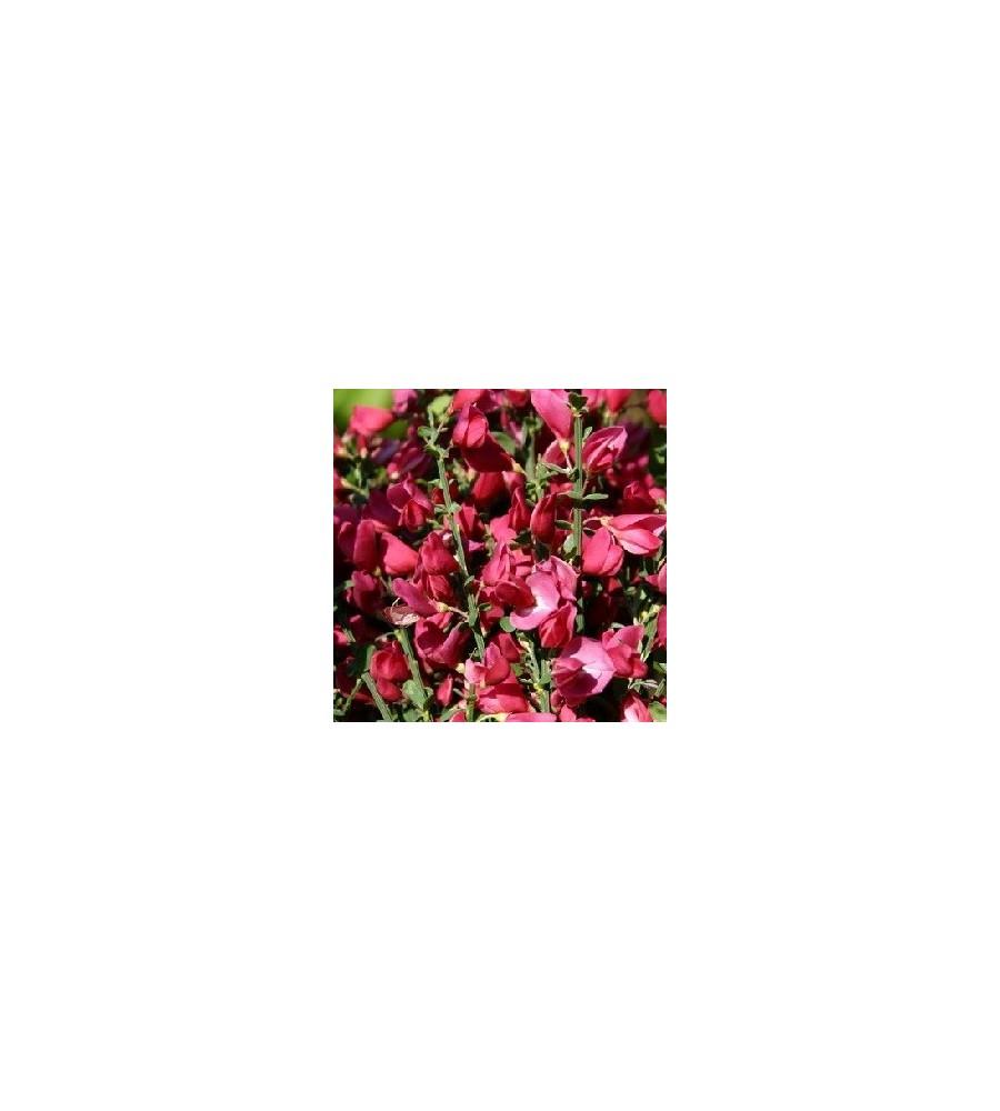 Cytisus scoparius Burkwoodii / Rød Gyvel
