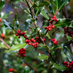 Ilex aquifolium Pyramidalis - Kristtorn / 50-60 cm.