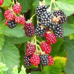 Brombær Black Cascade - Krukke Brombær - Rubus Black Cascade