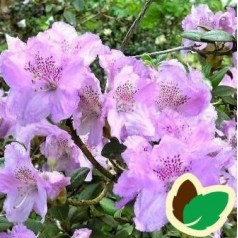 Dværg Rhododendron Lavendula
