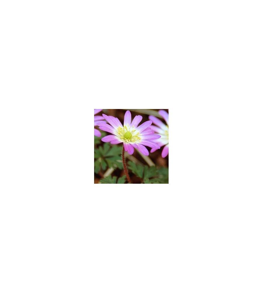 Anemone blanda Charmer / Balkananemone