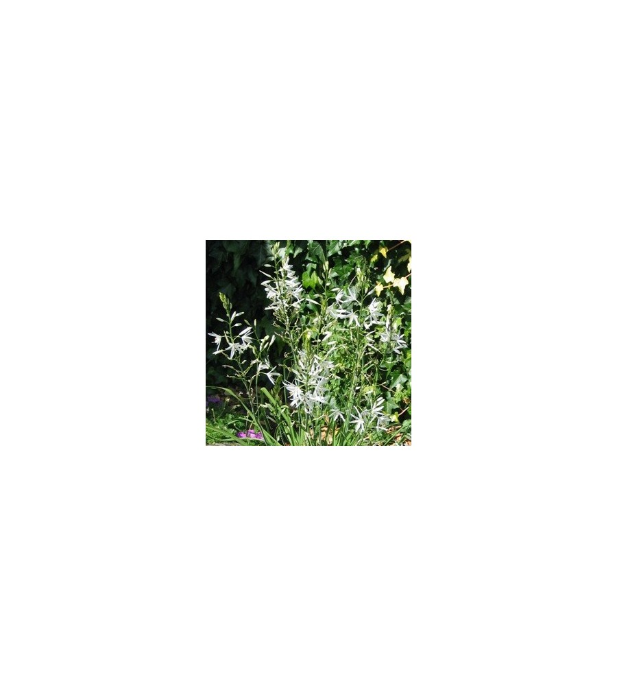 Anthericum liliago Fallax / Edderkoppeurt