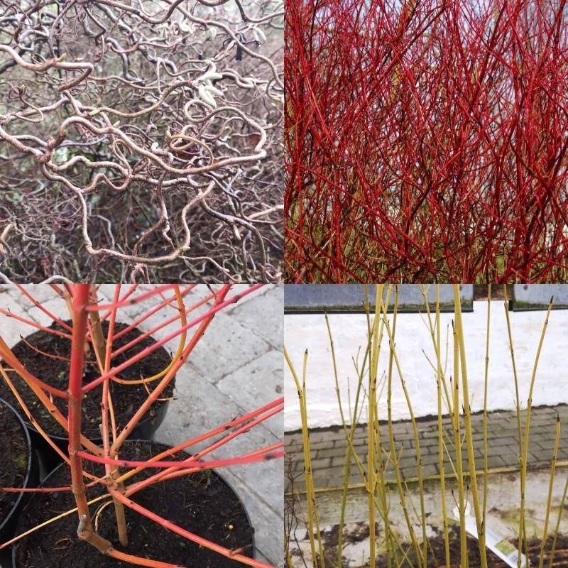 Plantepakke - Dekorative vintergrene