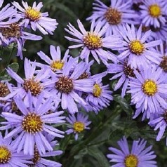 Aster amellus Mira / Amellusasters