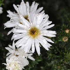 Aster novi-belgii White Ladies / Høstasters