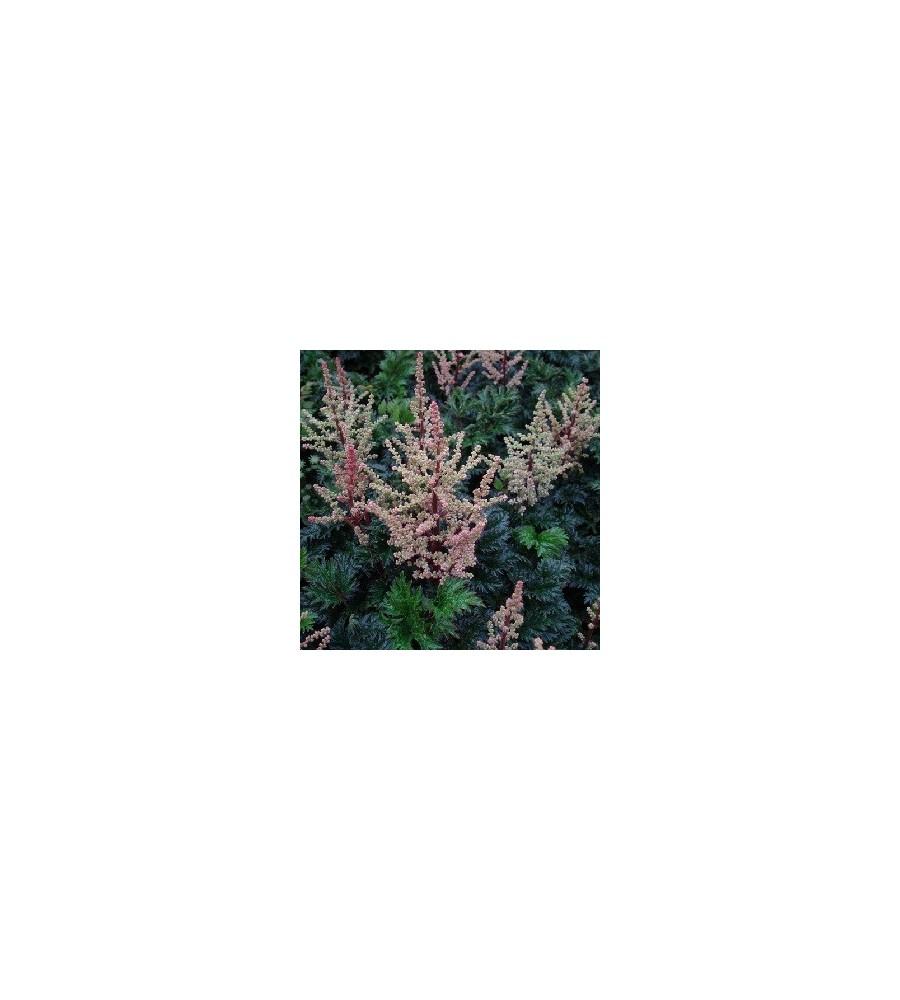 Astilbe crispa Liliput / Astilbe