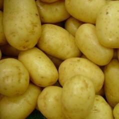 Mikado Læggekartofler - 1,5 Kg.